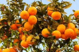 朋友圈吆喝 橘园开直播 上万奉节人网上卖脐橙