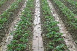 我在外地租田种草莓赚钱,一年净赚25万!
