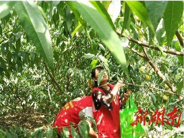 贫困户自力更生种桃树志愿者化身微商卖鲜桃